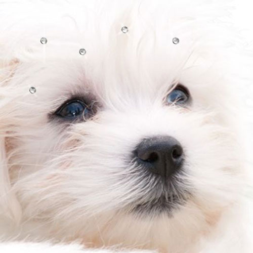 Hair Piercings for dogs or as hair accessories